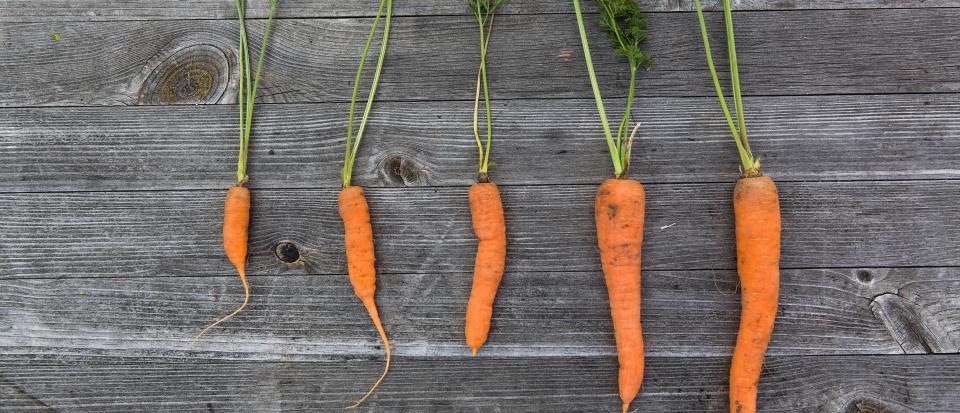 Rivi porkkanoita